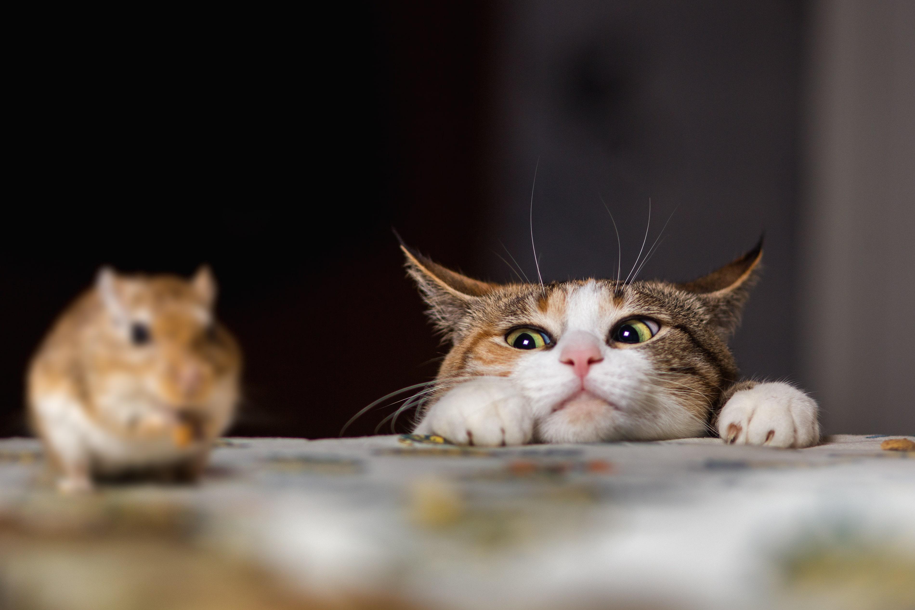 lien entre la peste et l'absence de chats
